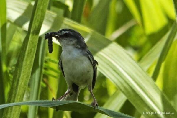 chim mía Quảng Ngãi